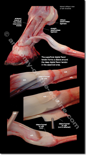 SDFT and DDFT photographic details of the equine distal limb