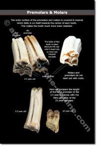 Equine Premolars & Molars