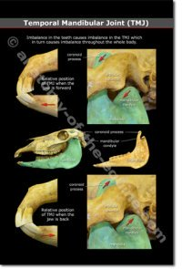 Equine Temporal Mandibular Joint