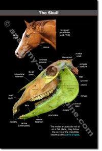 The Equine Skull