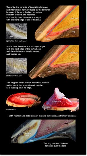Milk Teeth - Premolars & Molars
