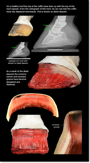Equine Incisors