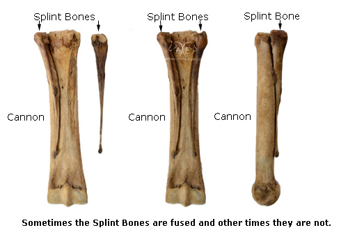 The Distal Limb Bones Of The Equine