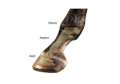 Distal Limb Bones Of The Equine