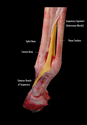 The suspensory ligament plays a vital role in stabilizing the lower leg.