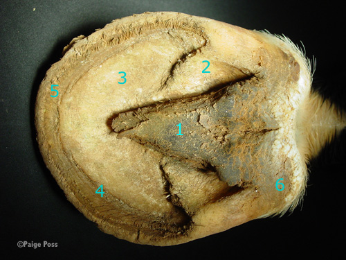 Sole of the Equine Hoof