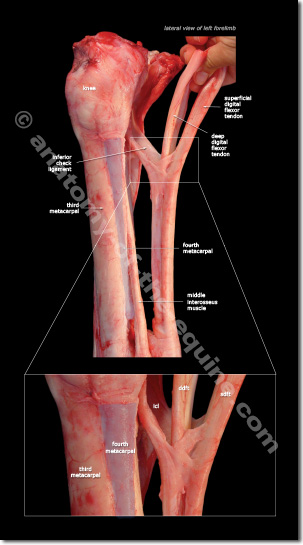 inferior check ligament of the equine distal limb