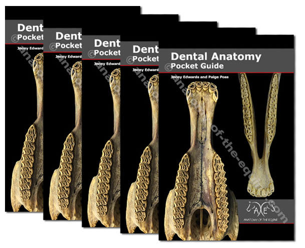 Equine dental anatomy
