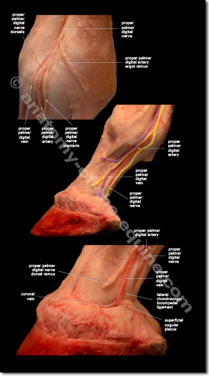 VAN veins arteries and nerves of the equine distal limb