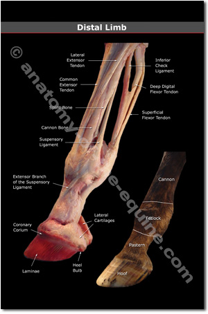 Equine Distal Limb