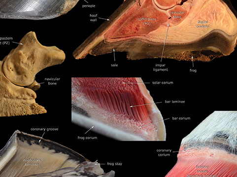 Hoof anatomy poster close-up