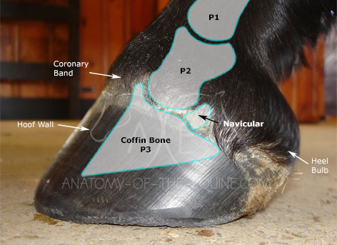 The coffin bone is located in the front half of the hoof capsule