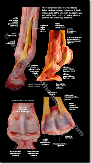 Suspensory Ligament of the equine distal limb