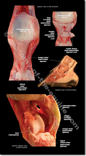 Detailed images of the ligaments that make up the suspensory apparatus.