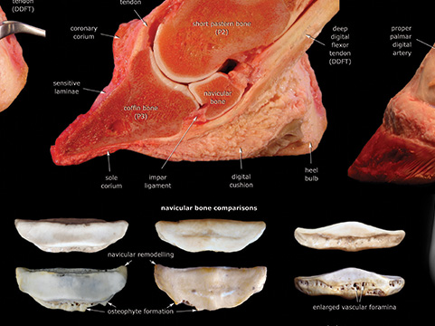 Navicular region poster close-up