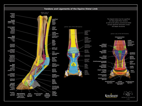 Tendons & ligaments poster
