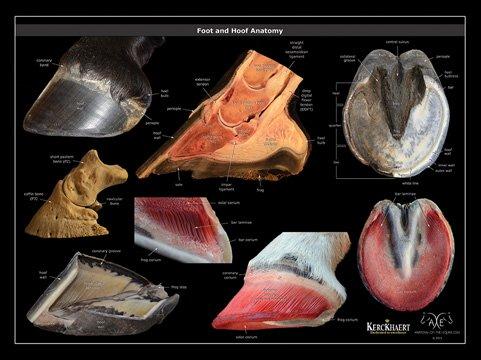 Hoof anatomy poster