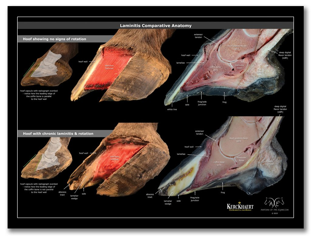 Horse Anatomy Posters