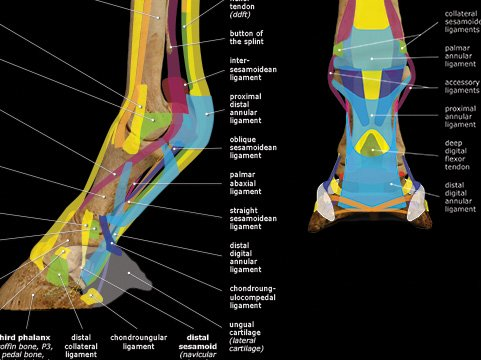 Tendons & ligaments poster close-up